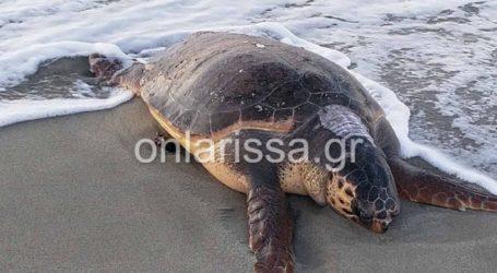 Λάρισα: Θλιβερή εικόνα – Ξεβράστηκε νεκρή θαλάσσια χελώνα στο Καστρί Λουτρό (φωτο)