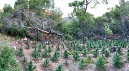 Ηράκλειο: Εντοπίστηκε φυτεία δενδρυλλίων κάνναβης