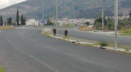 Άλογα έκαναν αμέριμνα βόλτα στον Περιφερειακό δρόμο του Βόλου [εικόνες]