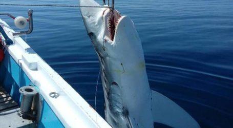 Αχίλλειο Αλμυρού: Ψάρεψε καρχαρία 7 μέτρων στον Παγασητικό [εικόνες]