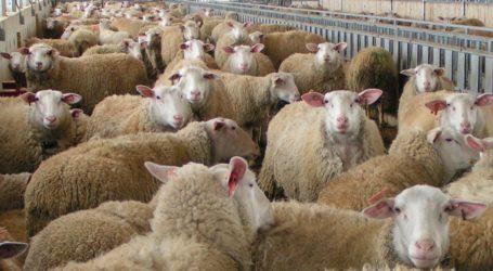 """Θύμα """"κορωνοϊού"""" και ο οβελίας-σε απόγνωση οι κτηνοτρόφοι"""