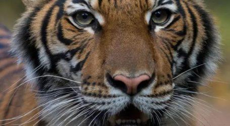 Θετική στον κορωνοϊο η Νάντια από τον ζωολογικό κήπο του Μπρονξ