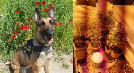 Αστυνομικός σκύλος εντόπισε 42 δένδρα κάνναβης