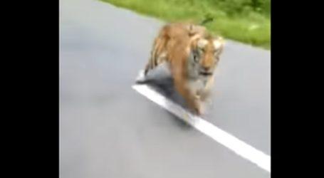 Τίγρης βγήκε στο δρόμο και καταδιώκει μηχανή με δύο αναβάτες