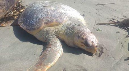 Θλιβερό θέαμα στο Στόμιο Λάρισας: Νεκρή «ξεβράστηκε» χελώνα καρέτα – καρέτα (φωτο)