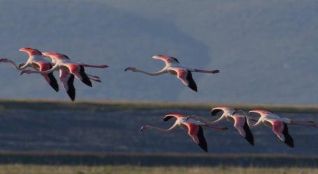 Εντυπωσιακές εικόνες στην Κάρλα – Σπάνια πουλιά βρήκαν τον τόπο τους λίγο έξω από τον Βόλο [εικόνες]