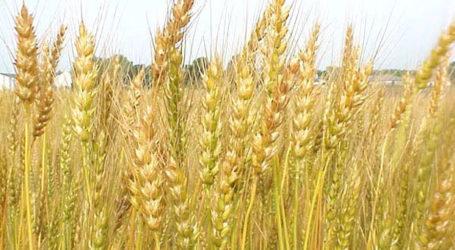 Έλεγχοι σε καλλιέργειες σκληρού σίτου από την Περιφέρεια Θεσσαλίας