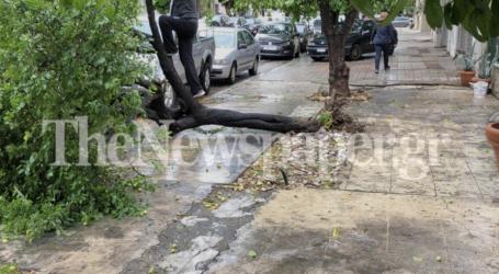 Και δεύτερο δέντρο έπεσε στον Βόλο – Δείτε εικόνες