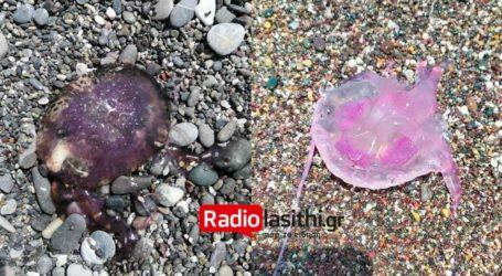 Ασυνήθιστο είδος τσούχτρας εμφανίστηκε στις παραλίες