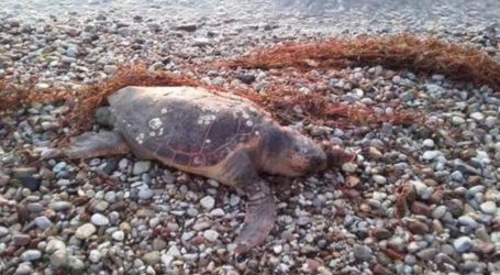 Νεκρή χελώνα καρέτα – καρέτα έξω από τον Βόλο