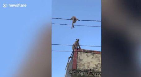 Γενναία μαϊμού σώζει το μικρό της από ηλεκτροφόρα καλώδια
