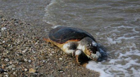 Εντοπίστηκε νεκρή χελώνα καρέτα-καρέτα σε παραλία της Καβάλας