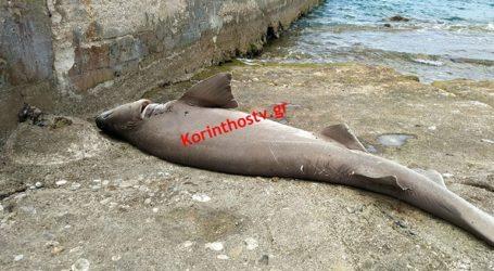 Νεκρός καρχαρίας ξεβράστηκε σε παραλία της Ποσειδωνίας Κορίνθου
