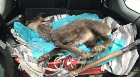 Αγριόγιδο σκοτώθηκε πέφτοντας από ύψωμα στην Εγνατία Οδό