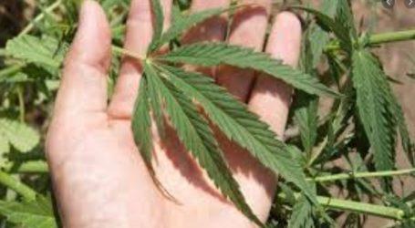 Συνελήφθησαν δύο νεαροί για κατοχή ηρωίνης και καλλιέργεια κάνναβης