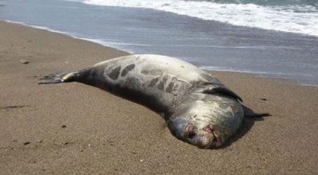 Νεκρή φώκια εντοπίστηκε στη Σκιάθο