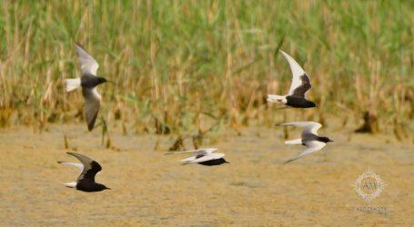 Πέντε είδη γλάρων ζούνε στη λίμνη Κάρλα – Δείτε εικόνες