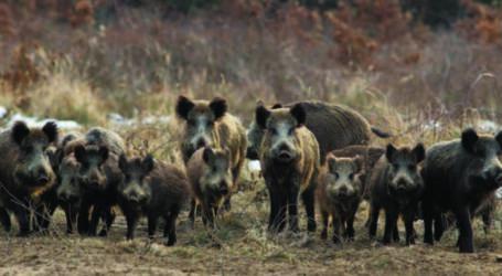 """""""Επίθεση"""" αγέλης αγριογούρουνων σε χωράφια της επαρχίας Φαρσάλων – Σε απόγνωση οι απροστάτευτοι οι αγρότες (φωτο)"""