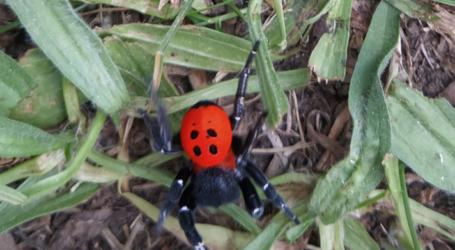Σπάνια αράχνη εντοπίστηκε από κατοίκους των Φαρσάλων – Δείτε εικόνες
