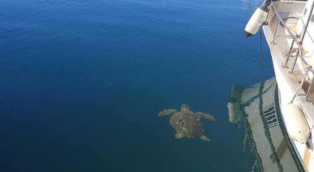 Βόλος: Χελώνα καρέτα καρέτα κάνει βόλτα στο λιμάνι