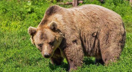 Αρκούδα σκοτώθηκε από πυρά στα γαλλικά Πυρηναία