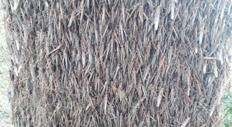 Εκατομμύρια ακρίδες «πολιορκούν» περιοχή της Αργεντινής