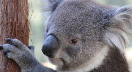 Με εξαφάνιση ως το 2050 απειλούνται τα κοάλα στη Νέα Νότια Ουαλία