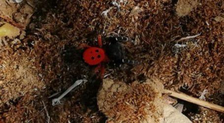 """Λάρισα: Η σπάνια αράχνη – πασχαλίτσα """"χτύπησε"""" και στις Νέες Καρυές – Δείτε φωτογραφίες"""
