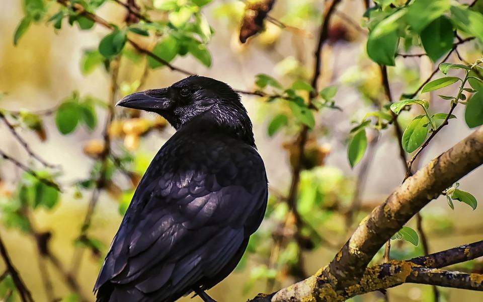 crow 4773455 960 720