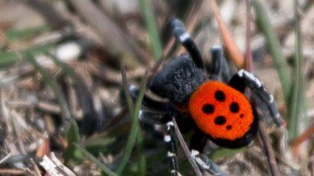Η σπάνια αράχνη – πασχαλίτσα…και στα Φάρσαλα! (βιντεο)
