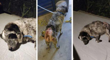 Άγρια κακοποίηση σκύλου στον Βόλο – Του έριξαν καυστικό υγρό