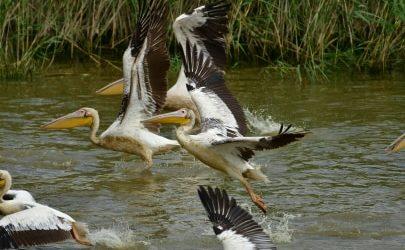 Νέα γεννητούρια στην Κάρλα – Παγκόσμιος σταθμός σπάνιων πουλιών η λίμνη [εικόνες]