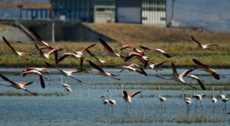 ΤΩΡΑ: Πάνω από 500 φλαμίνγκο στην λίμνη Κάρλα – Δείτε εντυπωσιακή εικόνα