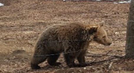 Αίσιο τέλος για το μικρό αρκουδάκι που εγκλωβίστηκε σε αγροικία στην Καστοριά
