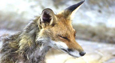 Αλεπού δάγκωσε νεαρό -Του χορηγήθηκε αντιλυσσικός ορός