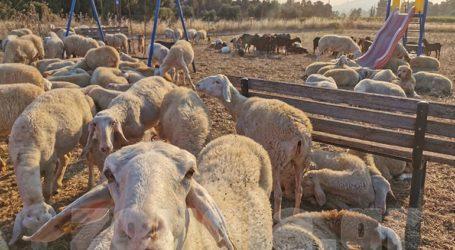 Έκλεισε τα πρόβατα σε παιδική χαρά για να τα προστατεύσει από τη φωτιά
