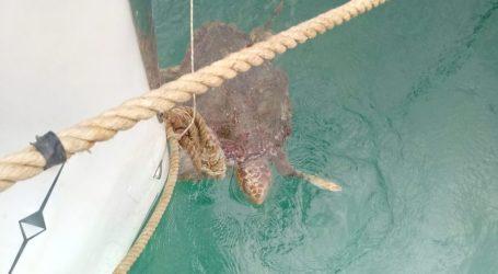Βόλος: Επιχείρηση απεγκλωβισμού δεύτερης θαλάσσιας χελώνας στο λιμάνι