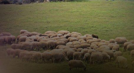 Ηράκλειο: Έκλεψαν 83 αιγοπρόβατα από ποιμνιοστάσιο