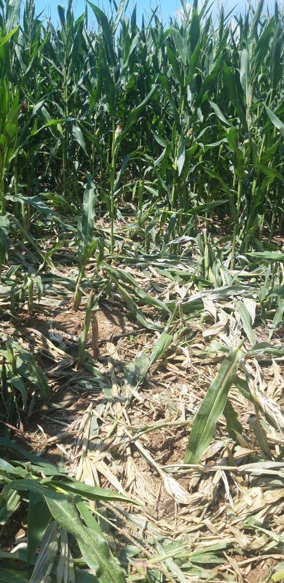 Εκτός ελέγχου η κατάσταση με τις επιδρομές αγριογούρουνων σε περιοχές της Π.Ε. Λάρισας (φωτο)
