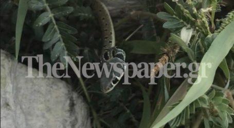 Λαχτάρησε οικογένεια στον Βόλο – Φίδι εμφανίστηκε στο μπαλκόνι [εικόνες]