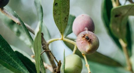 Διενέργεια δολωματικών ψεκασμών για την καταπολέμηση του δάκου της ελιάς στη Μαγνησία