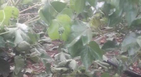 Χαλάζι κατέστρεψε καλλιέργειες στα Φάρσαλα (φωτο)