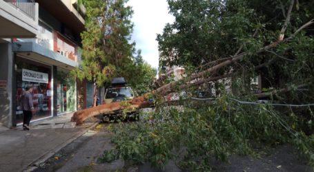 Κατέρρευσε δέντρο στο κέντρο του Βόλου – Προκάλεσε ζημιές σε ΙΧ [εικόνες]