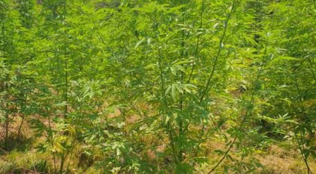 Συνελήφθη 49χρονος για καλλιέργεια δενδρυλλίων κάνναβης
