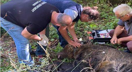 Κινητοποίηση για μεγαλόσωμη αρκούδα που παγιδεύτηκε σε παράνομη θηλιά για αγριογούρουνα