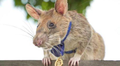 Xρυσό μετάλλιο απονεμήθηκε σε αρουραίο που ανιχνεύει νάρκες