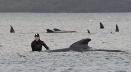 Επιστήμονες προσπαθούν να σώσουν δεκάδες φάλαινες που έχουν εξοκείλει στην Τασμανία