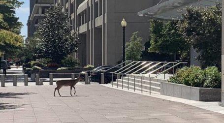 Ελάφι κόβει βόλτες έξω από το ΔΝΤ – Πόλη «φάντασμα» η Ουάσινγκτον