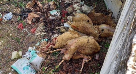 Φρίκη: Πέταξαν νεκρά πρόβατα εν μέσω καταρροϊκού σε ρέμα στον Ομαδικό Αμπελώνα