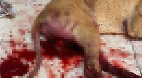 Χανιά: Άνδρας ευνούχισε και κρέμασε τον σκύλο του